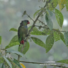 RED-BILLED PARROT (2xphoto)