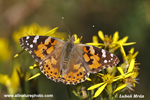 PAINTED LADY (4xphoto)