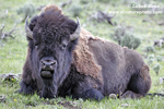 AMERICAN BISON (17xphoto)