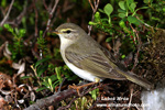 WILLOW WARBLER (4xphoto)