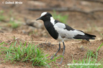 BLACKSMITH LAPWING (3xphoto)