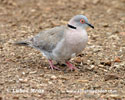 AFRICAN MOURNING COLLARED DOVE (3xphoto)