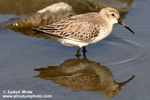 RED KNOT (4xphoto)