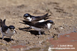 NORTHERN HOUSE-MARTIN (7xphoto)