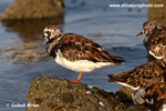 RUDDY TURNSTONE (3xphoto)