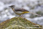 GREY WAGTAIL (2xphoto)