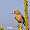 RED CROSSBILL (4xphoto)