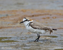 KENTISH PLOVER (5xphoto)