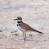 KILLDEER (8xphoto)