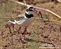LITTLE RINGED PLOVER (8xphoto)