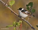 COLLARED FLYCATCHER (3xphoto)