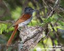AFRICAN PARADISE FLYCATCHER (7xphoto)