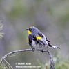 YELLOW-RUMPED WARBLER (5xphoto)