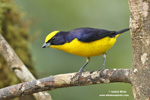 THICK-BILLED EUPHONIA (6xphoto)