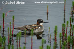 RED-NECKER PHALAROPE (4xphoto)