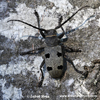 LONG-HORNED BEETLE (4xphoto)