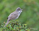 BARRED WARBLER (6xphoto)