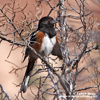 SPOTTED TOWHEE (4xphoto)
