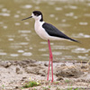 BLACK-WINGED STILT (7xphoto)
