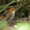 CHESTNUT-CROWNED ANTPITTA (4xphoto)