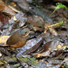 MOUSTACHED ANTPITTA (3xphoto)
