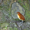 YELLOW-BREASTED ANTPITTA (5xphoto)