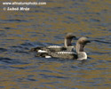 BLACK-THROATED DIVER (3xphoto)