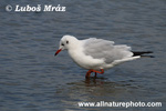 BLACK-HEADED GULL (3xphoto)