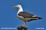 LESSER BLACK-BACKED GULL (3xphoto)