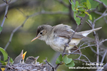 OLIVACEOUS WARBLER (5xphoto)