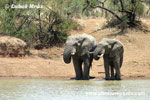 AFRICAN ELEPHAN (15x photo)