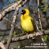 BLACK FRONTED SOUTHERN MASKED WEAVER (3xphoto)