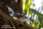 WHITE-THROATED MAGPIE-JAY (3xphoto)