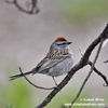 CHIPPING SPARROW (9xphoto)