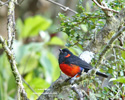 SCARLET-BELLIED MOUNTAIN-TANAGER (2xphoto)