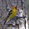 WESTERN TANAGER (9xphoto)