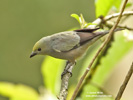 PALM TANAGER (3xphoto)