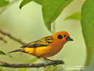 GOLDEN TANAGER (6xphoto)