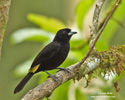 YELLOW-RUMPED TANAGER (9xphoto)