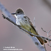 ASH-THROATED FLYCATCHER (5xphoto)