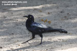 BOAT-TAILED GRACKLE (7xphoto)