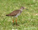 COMMON REDSHANK (7xphoto)