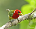 RED-HEADED BARBET (5xphoto)