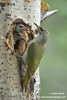 GREY-FACED WOODPECKER (6xphoto)